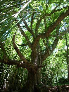 Cool tree in Kauai, HI, on the Napali hike