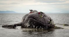 Body of dead Humpback whale in White Rock, British Columbia, Canada. People hold a makeshift funeral for a humpback whale that died on a beach in Canada. It died at low tide in White Rock, British Columbia, a few hours after beaching itself. It was found to be tangled in a fishing net and authorities are now trying to track down the owner of the net. After the whale died, local people held a makeshift funeral – gathering to pay their respects and laying flowers