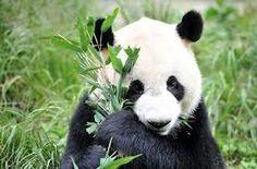 panda - Buscar con Google