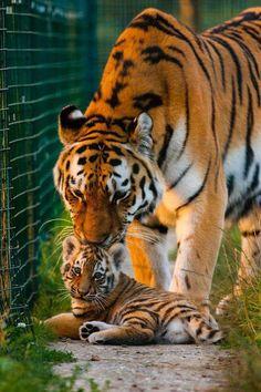 Baby animals, animals and pets, cute animals, wild Vida Animal, Mundo Animal, My Animal, Animals And Pets, Baby Animals, Cute Animals, Wild Animals, Beautiful Cats, Animals Beautiful