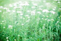 harvest yarrow and other wild herbs