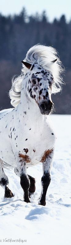 Horse with Great hair! Beautiful Appaloosa with a pretty spotted face running in the snow with his wild mane flowing in the wind.