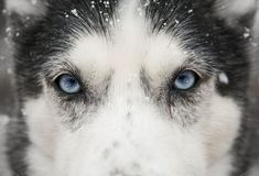 Closeup of my 11-year-old Husky in the snow. - Imgur