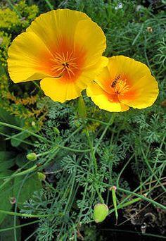 KALIFORNIAVALMUE - Eschscholzia californica
