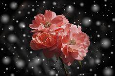 Rose, Flower, Flowers, Plant, Fantasy, Snow, Winter