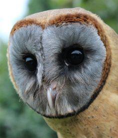 Flickr / nikolajaneshiel  #ashy-faced owl