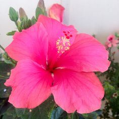 Υβίσκος! Rose, Flowers, Plants, Pink, Roses, Flora, Royal Icing Flowers, Floral, Plant