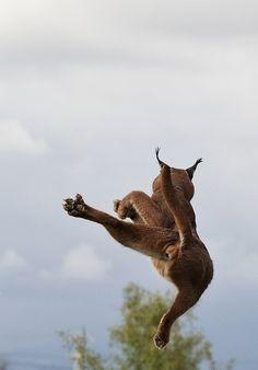 Puma jump by doug fitz-gerald