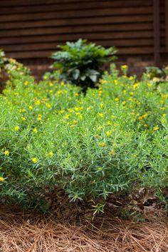 Cobalt-n-Gold™ Hypericum  | First Editions Plants