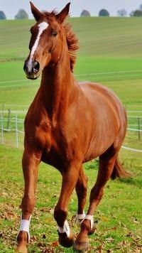 Animal Horse Mobile Wallpaper