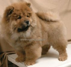 Return Policy Chow, Shih Tzu, and Sheltie Puppies