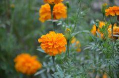 Alibag Marigolds Marigold, Mumbai, Love, Plants, Amor, El Amor, Flora, Plant