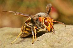 Asian Predatory Wasp   Asian Hornet or Asian Predatory Wasp (Vespa velutina, Vespidae)