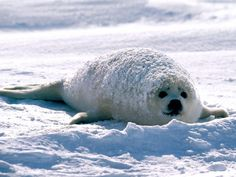 HD Wallpapers Seal Images For Desktop Free Download JRE HD
