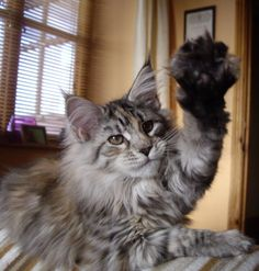 high five http://www.mainecoonguide.com/male-vs-female-maine-coons/