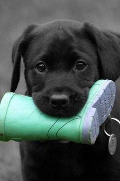 Labrador - Chiot - Noir - Botte - Pluie - Enfant - Jouer - Mignon