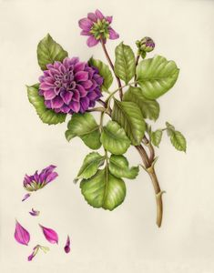 Dahlia. From the collection of botanical illustrations of flowers by Wendy Hollender.