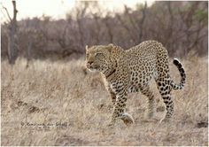 Scarface - Kruger National Park