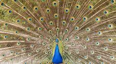 https://flic.kr/p/Hqz9So | Blauer Pfau | Der Blaue Pfau (Pavo cristatus) ist eine Vogelart aus der Familie der Fasanenartigen (Phasianidae). Er gehört zur Ordnung der Hühnervögel und ist neben dem Fasan und dem Haushuhn einer der bekanntesten Vertreter dieser Vogelgruppe.  Aufgrund ihres auffälligen Aussehens gelten vor allem die Männchen als die ältesten Ziervögel der Menschen. Bereits in den Sagen der griechischen Antike wurden sie erwähnt. Als standorttreue Vögel werden die ursprünglich…