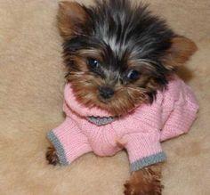 Yorkie Love ♥♥ on Pinterest   Yorkie, Yorkshire Terrier and Yorkies