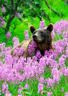 Brown bear in the field of Rosebay Willowherb. Kamchatka, #Russia.