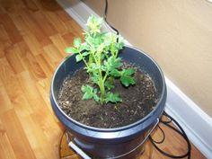 Growing spuds in a bucket