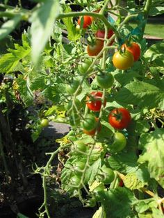 Homemade Insecticide For Vegetable Gardens Homemade Insecticide Planting Vegetables And