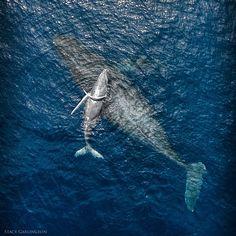 Faith, Trust, & Pixie Dust #Humpback #Whale #Kayak #Maui #Hawaii #Phantom2V+ #drone #dronediva #IFlyDJI #djicreator #AmeliaDronehart #aerialphotography #SkyPixel #DJIGlobal #Adobe #DronesAreGood #Lightroom #DJIGlobal #MyDreamComeTrue