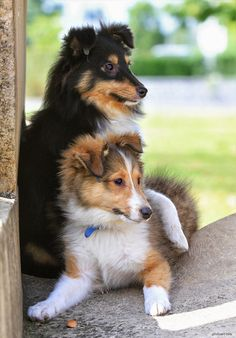 lovely Shelties-oh how I miss mine. Her name was Shelly and the little children loved to call her Lassie when I walked with her.