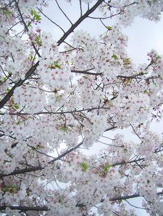 Pure white !! | White flowering Plum trees looking very eleg… | Flickr