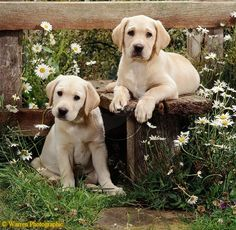 """Labrador pups... Warren Photographic image library """"Our images are available to purchase for commercial use on a rights managed basis. We do not sell images royalty free."""""""