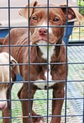 Alexa is an adoptable Pit Bull Terrier Dog in Conyers, GA. THESE PUPS WERE RESCUED FROM A KILL SHELTER AFTER THEIR OWNER TURNED THEM IN. THEY WERE VERY SKINNY AND HAVE PUT ON A FEW POUNDS BUT STILL NE...