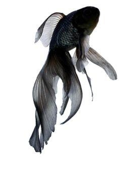 #black  #goldfish #dark