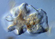Thecamoeba terricola / Amoebozoa