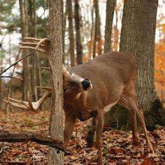 Whitetail Deer Pictures, Whitetail Deer Hunting, Deer Photos, Whitetail Bucks, Deer Pics, Male Deer, Big Deer, Deer Family, Bow Hunting
