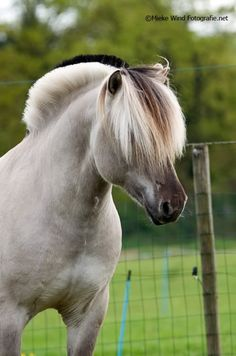 Norwegian Fjord Horse. the sheep dog of horses. Have one at my barn, he is so slow!
