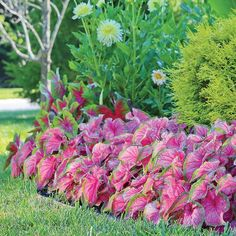 Caladium...Florida Sweetheart. Florida Sweetheart caladiums are a Strap Leaf caladium.  The leaves are a nice bright pink that fades to white, trimmed with a green edge.  Florida Sweetheart caladiums work well in baskets or as a front row planting.  Strap Leaf caladiums do not typically produce great numbers of big bulbs so larger size bulbs are always in short supply.   The color and pattern typically remain true to our pictures.  A light application of fertilizer does not typically skew…