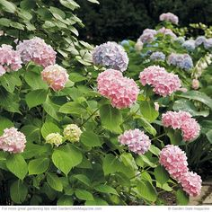 More hydrangea blooms | Here's how to get the most flowers from Endless Summer hydrangea!