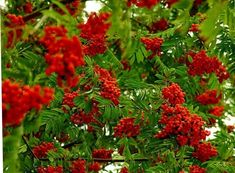 Berries saved the intestines