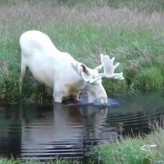 Albino moose – very rare? Albino moose – very rare? This image has get 305 … - List Ideas Cute Funny Animals, Cute Baby Animals, Cutest Animals, Rare Animals, Animals And Pets, Wild Animals Videos, Animals Planet, Beautiful Creatures, Animals Beautiful