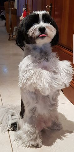 """See our web site for additional details on """"shih tzus"""". It is actually an exceptional area to read more. Shih Tzu Mix, Shih Tzu Puppy, Shih Tzus, N Animals, Cute Animals, Cute Puppies, Cute Dogs, Dog Care, Best Dogs"""