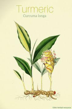 Turmeric Curcuma longa