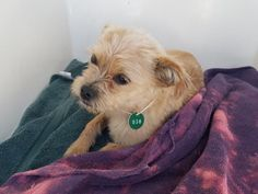 05/12/17-  EXTREMELY URGENT - ~ local foster needed❗~HOUSTON-  This DOG - ID#A483536    I am a male, tan and white Norfolk Terrier.    The shelter staff think I am about 1 year and 5 months old.    I have been at the shelter since May 12, 2017.    This information was refreshed 49 minutes ago and may not represent all of the animals at the Harris County Public Health and Environmental Services.