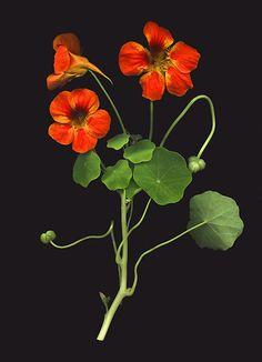 Plant in Libra for beauty, also Virgo/Gem/Sag. Abundance: Cancer/Pisces/Virgo. Sturdiness: Scorpio. Hardiness: Taurus. All in 1st quarter