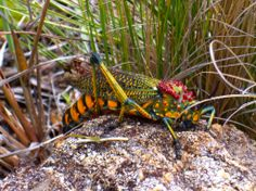 madagascar bush locust, madagascar, 2007 Reptiles And Amphibians, Mammals, Camouflage, Bugs And Insects, Animals Of The World, Wonders Of The World, Habitats, Funny Animals, Creatures