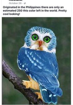 BlueOwl Of The Philippines