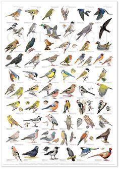 Vögel Im Garten Bestimmen Determine Birds in the Garden - this beautiful photo collections of Determ Animals And Pets, Cute Animals, Bird Identification, Bird Poster, Animal Posters, Fauna, Bird Watching, Beautiful Birds, Birds In Flight