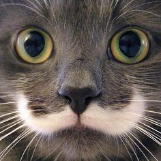 """Neste perfil de Instagram,  podemos encontrar um exemplar de felino com muita classe, garbo e elegância – seu mustache fez com que Hamilton ficasse conhecido como """"o gato hipster""""."""