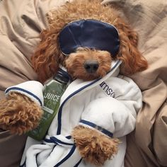 Some days you just gotta drink your juice & catch up on sleep! Super Cute Puppies, Cute Little Puppies, Cute Little Animals, Cute Funny Animals, Cute Dogs, Goldendoodle Funny, Goldendoodles, Cute Dog Pictures, Cute Puppy Photos