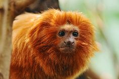 """Mico leão dourado, the golden tamarin (""""Leontopithecus rosalia""""), photographed in the zoo of Zurich by Tambako the Jaguar/Flickr."""